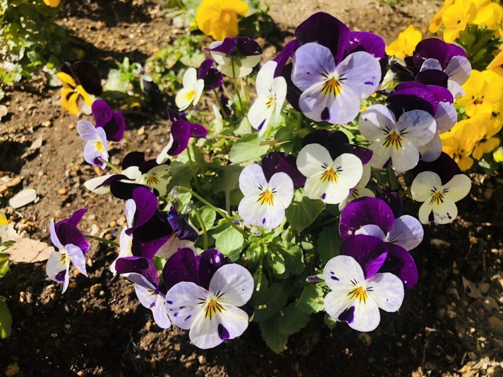 先日、歩いていたらビオラが咲いていました。色とりどりで綺麗でした。色により花言葉が違うらしいです。